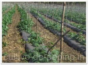 cultivo de pepino entutorado con malla espaldera