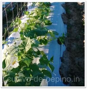 cultivo de pepino usando malla espaldera para entutorar