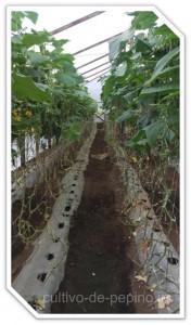 El entutorado del cultivo de pepino