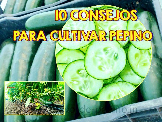 Consejos básicos para el cultivo de pepino