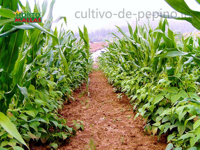 Asociación de cultivo de maíz y alubias en campo abierto