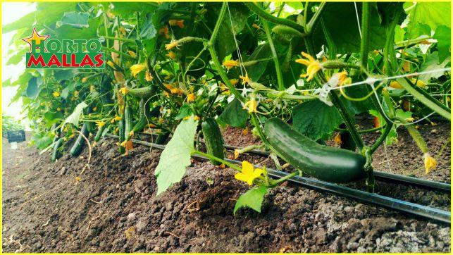 Pepinos cultivados campo con riego y entutorado vertical