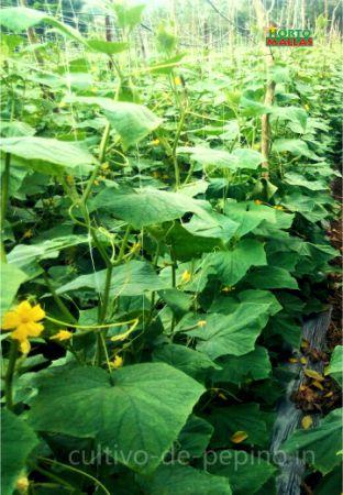 Cultivo de pepino en campo abierto distribuido verticalmente