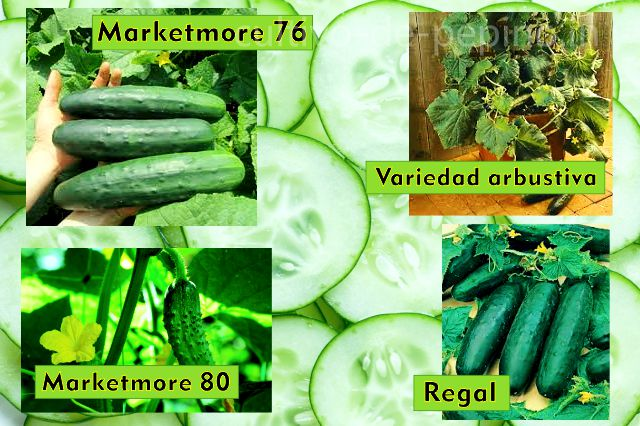 Pepinos de diferentes variedades, Marketmore 76, Marketmore 80, Regal y una variedad enana exótica