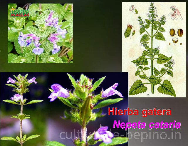 Hierba gatera (Nepeta cataria), Close up a inflorescencia
