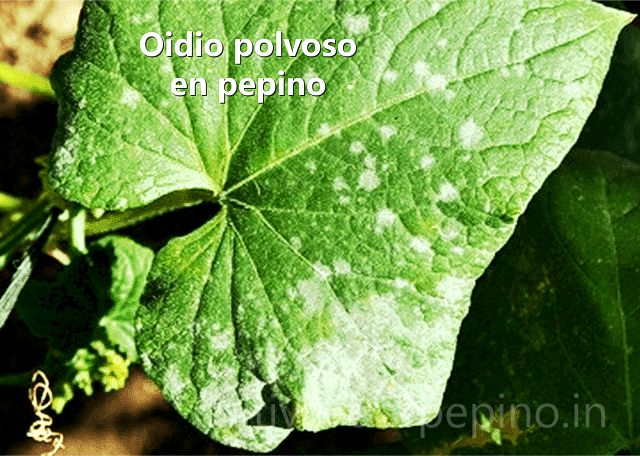 Oídio polvoso infectando hoja de pepino