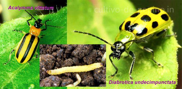 Principales especies de escarabajos del pepino, Acalymma vittatum, Diabrotica undecimpunctata y larva del género