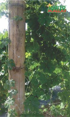 Amarres al poste de entutorado para cundeamor melón amargo en cultivo en campo abierto