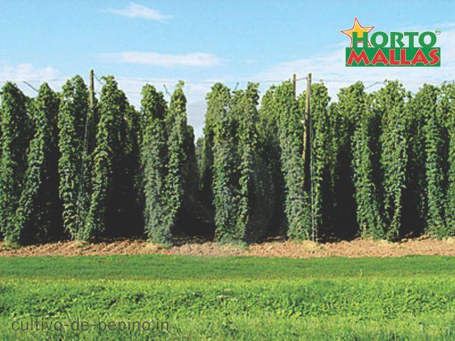 vista de un cultivo de pepino con bosque de malla hortomallas