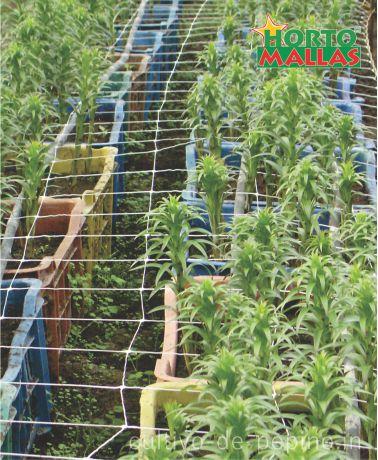 Cultivo de flores ornametales en macetas guiado con malla espaldera plástica