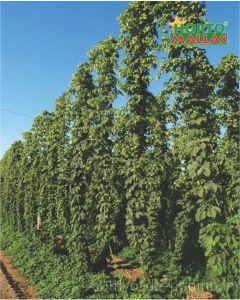 Cultivo de lúpulo entutorado en vertical con malla espaldera plástica