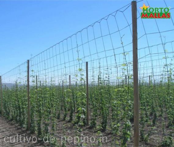 Cultivo de pepino con hortomallas malla para entutorado vertical