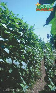 Cultivo de pepino de casi 2 metros y medio, sostenido verticalmente con malla espaldera