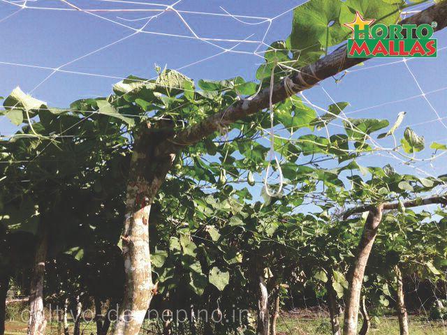 Cultivo de pepino en campo abierto entutorado horizontalmente, con malla espaldera