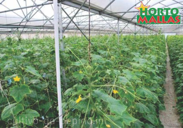 Cultivo de pepino en invernadero enturoado con hortomallas malla espaldera