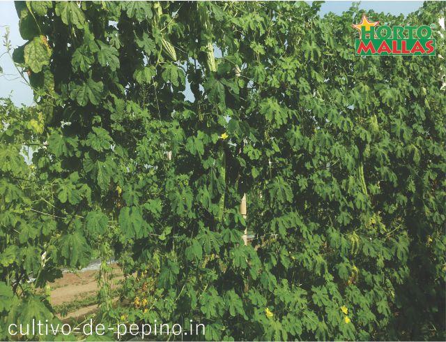 cultivo de viña vid soportada por hortomallas malla