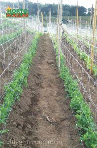 Cultivo de pepino en crecimiento entuterada con malla