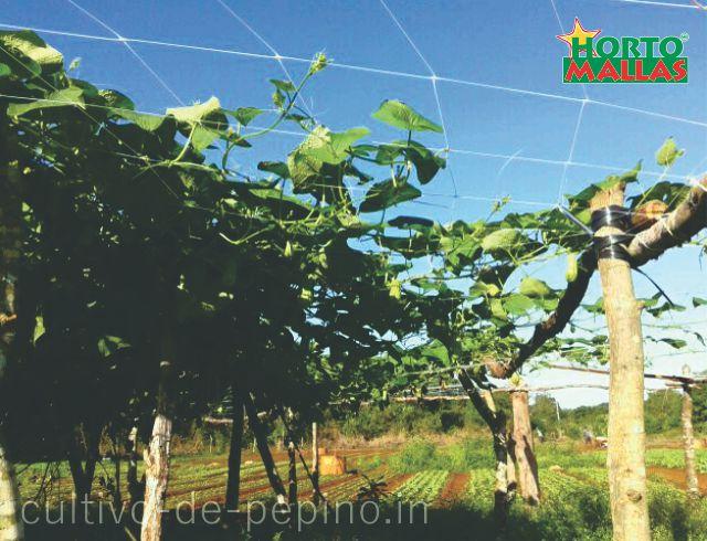 Cultivo de pepinos entutorados horizontalmente con hortomallas malla