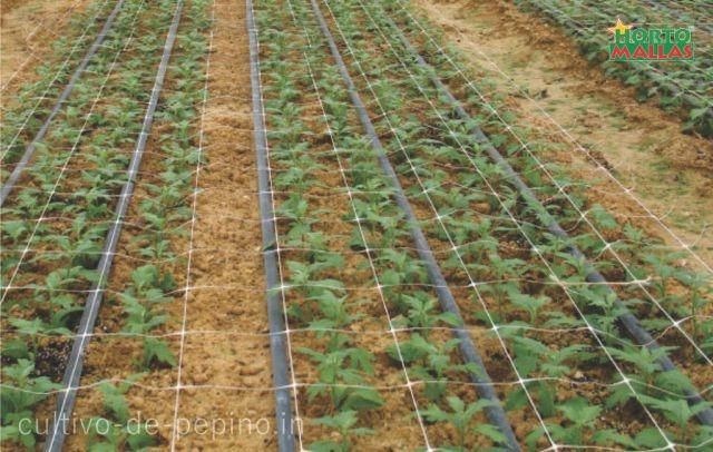 Tallos entutorados con malla espaldera en cultivo de flores ornamentales