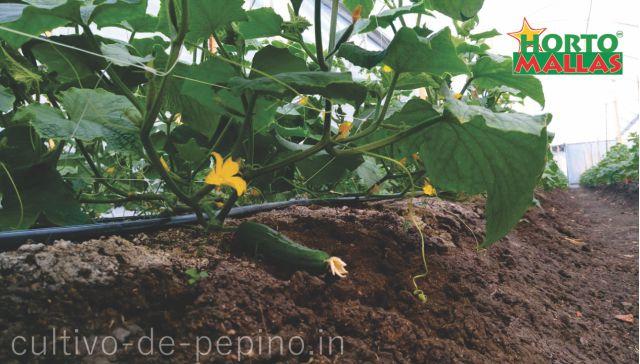 Vista de base del surco en cultivo de pepino maduro entutorado con hortomallas malla espaldera plástica
