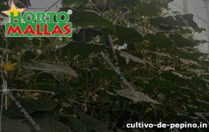 Campo de plantas de pepino